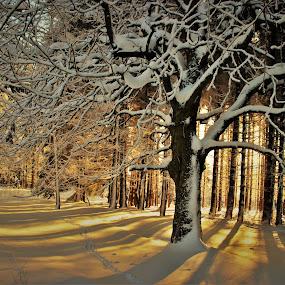 Sunny morning by Jarka Hk - Landscapes Sunsets & Sunrises ( winter, tree, snow, forest, sunrise, sun )