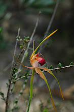 Photo: Caladenia pectinata
