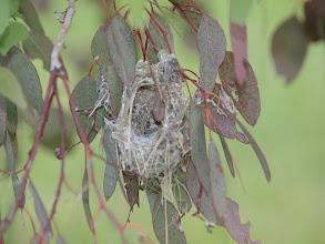 Photo: Weebill nest (under construction)
