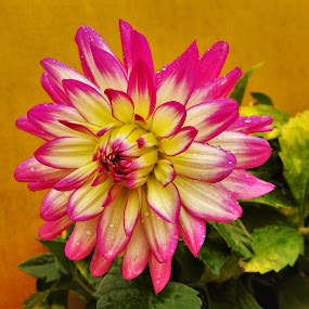 In Bloom by Patricia Phillips - Flowers Single Flower ( flowers dahlias )
