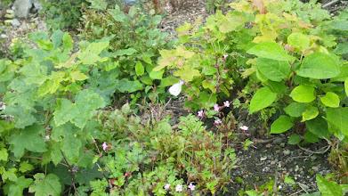 Photo: Ein Weißling saugt an einer rosa Blüte. Die Zeit der gelben Zitronenfalter ist vorbei - im Juli bestimmen weiße Falter das Bild. Hier: In der Geweke