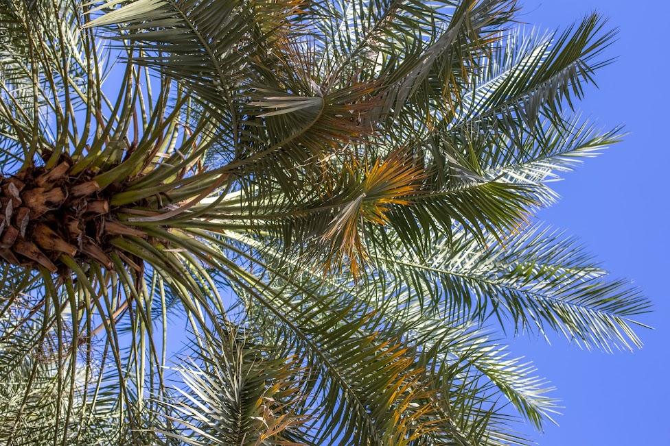 gaj palmowy, Oman