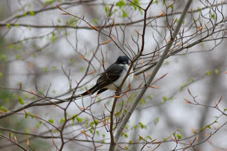 Photo: Eastern kingbird