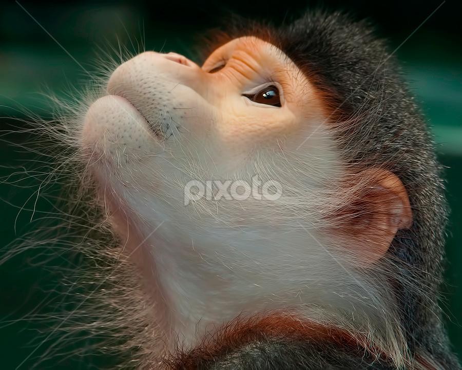 Enduring by Shelly Wetzel - Animals Other Mammals ( endangered, douc langur, primate, pwc105, monkey, mammal, animal )