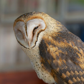 barn owl by Randall Langenhoven - Animals Birds ( bird, wild, nature, nocturnal, owl )