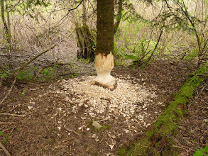 Photo: Over a period of several months the Beaver would gnaw on this young Douglas Fir every day, probably to keep their teeth in shape, until it fell down.