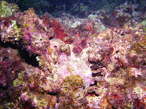 Photo: Scorpionfish - looks like coral; in the upper right, head close to the centre of the picture