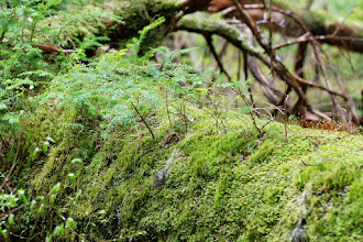 Photo: Moss in rain forest near Outer Point, Douglas Island