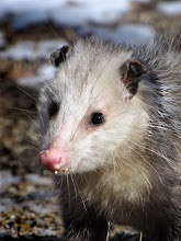Photo: The eastern opossum, Didelphis virginiana, is seen occasionally cruising for spilled seed under one of our bird feeders.