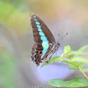 Common Bluebottle