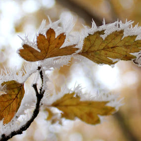crystals on leaves by Cosmin Popa-Gorjanu - Nature Up Close Leaves & Grasses ( crystals, winter, ice, frost, white, leaves )