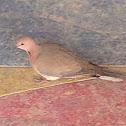 Laughing Dove, Palm Dove, Senegal Dove, Little Brown Dove