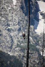 Photo: Bald Eagle Jackson Lake in Grand Teton National Park, WY.