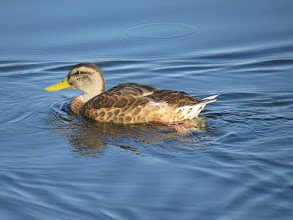 Photo: 15 Jul 13 Priorslee Lake: The clean yellow-green bill identifies this Mallard as a drake! It is in so-called eclipse plumage and you can see that it lacks primary feathers and therefore probably cannot fly at present. (Ed Wilson)