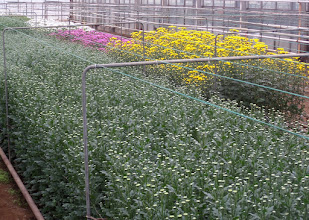 Photo: Chrysanthemums mature in twelve weeks from starts that come from Africa.  They are cut once and the plant is discarded.  The flowers on the right are ready for harvest.  The buds on the left will be ready in a week.