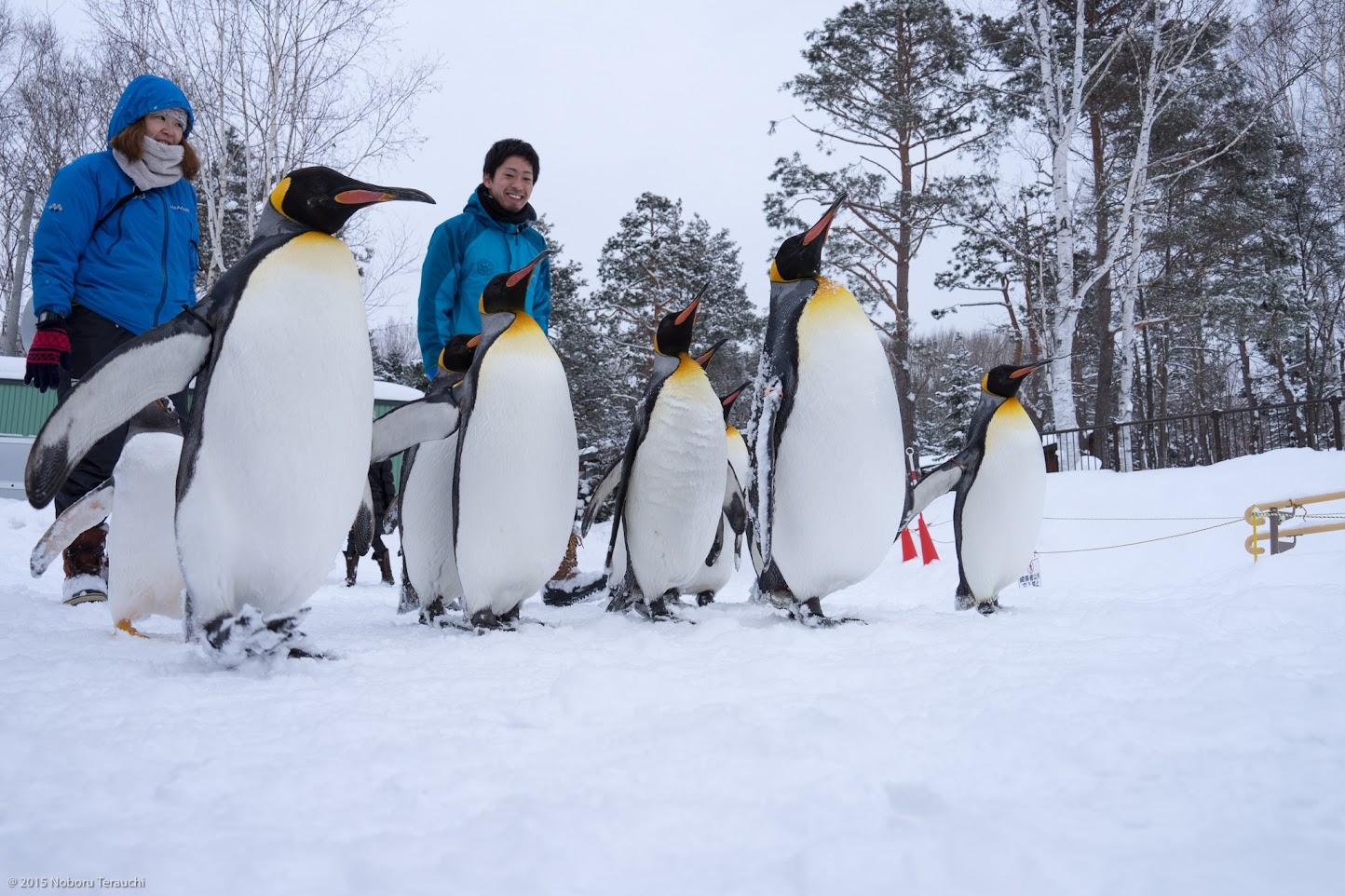 よちよち歩きの可愛いペンギン散歩