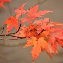 Maple by Jaliya Rasaputra - Nature Up Close Leaves & Grasses (  )