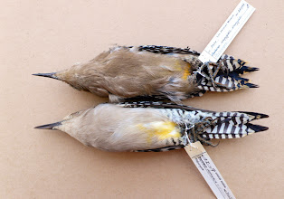 """Photo: Museum specimens of 2 Gila Woodpeckers, the lower bird of the purported """"albescens"""" subspecies"""