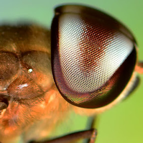 the eye by Stevie Go - Animals Insects & Spiders ( macro, insects, eye )
