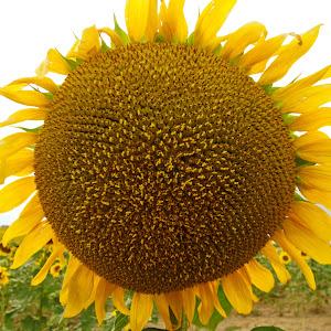 Sunflower Closeup.jpg