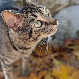 Fall Fun by Michelle Kelly - Animals - Cats Portraits ( outdoor, curious, fall, leaves, cat,  )