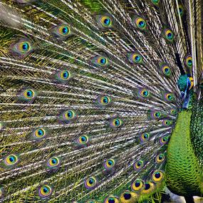 Beauty by Norbertus Andreanto Photos - Animals Birds ( indonesia, pwctaggedbirds, jakarta, tmii, bird park, peacock )