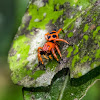 Phiale Jumping Spider / Papa-Moscas-Phiale