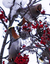 Photo: Bohemian Waxwings feeding on mountain ash berries in suburban Anchorage