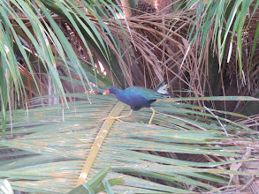Photo: purple gallinule