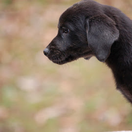 Blurred Background Of Puppy by Jessica Rose - Animals - Dogs Puppies ( blurredback, puppy, dogs, cuteness, blackpuppy, sweet, puppies, cute,  )