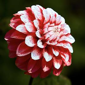 Dahlia 8570 by Raphael RaCcoon - Flowers Single Flower