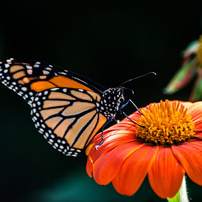 monarch 3 by Tim Hauser - Animals Insects & Spiders ( nature, monarch, art, fine art, wildlife, insect, animal )