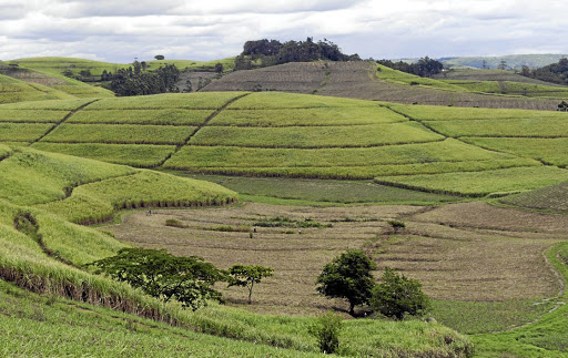 A Tongaat Hulett sugar cane field. Picture: BLOOMBER/WALDO SWIEGERS