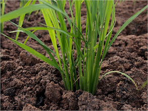 Photo: Photo by Devon Jenkins, 2012/2013, Benin. SRI rice plant growing in a demonstration plot at the Centre Songhai in Porto Novo.