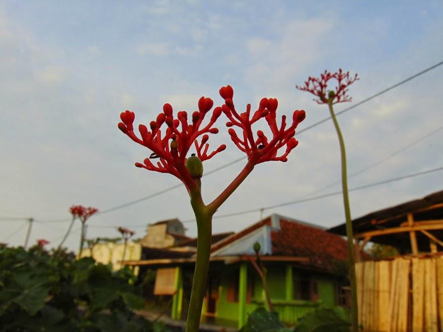 Bunga di Kota Agung
