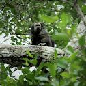Monk-Saki Monkey