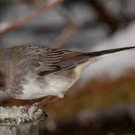 Dark Eyed Junco by Chris Cavallo - Animals Birds ( eye, maine, junco, snow, bird, dark, winter )