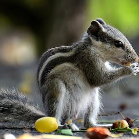 Squirrel by Sanjeev Kumar - Animals Other Mammals (  )