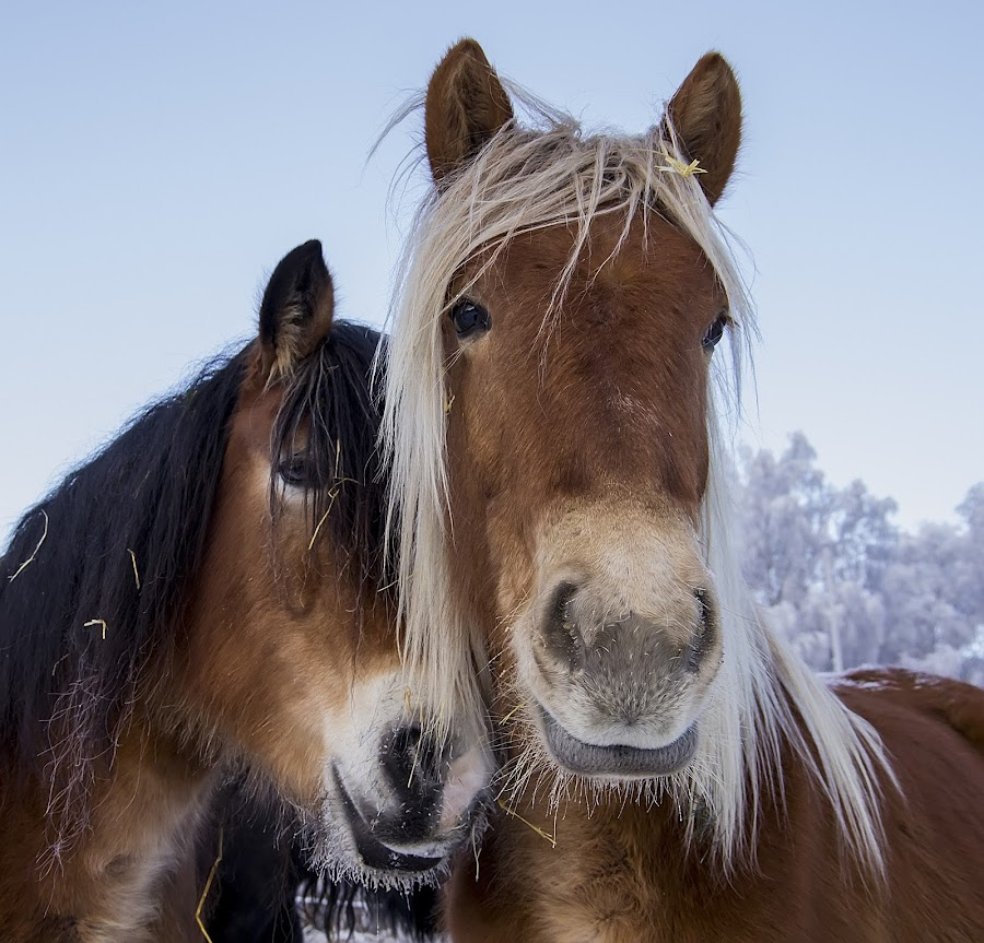 Is so fond of my mother... by Rita Barbro Skogset - Animals Horses ( winter, mother, horses, daughter, animal )