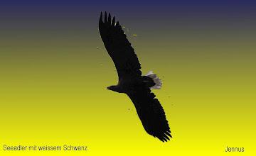 Photo: Adulte Seeadler in Mecklenburg sind fast doppelt so groß und schwer als das nordamerikanische Wappentier. Die Flügelspannweite des Europäers beträgt ca. 200-240 cm, Gewicht 4100-4600 g.