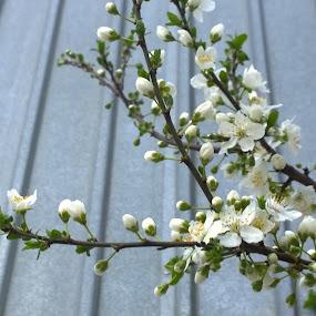 by Corina Chirila - Flowers Tree Blossoms (  )