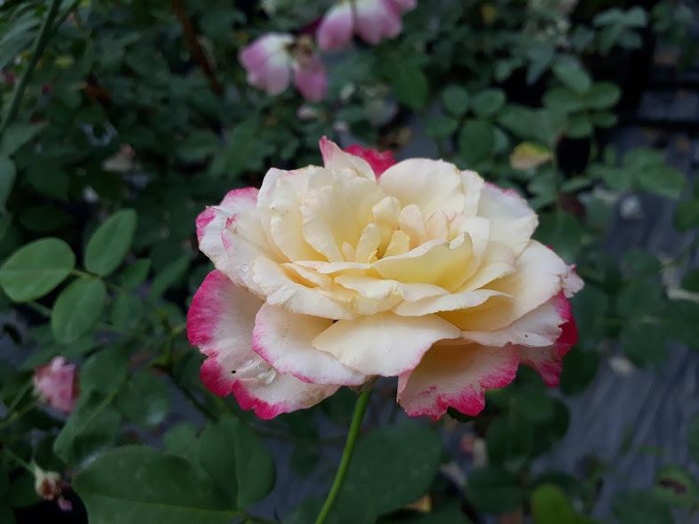 Góc chụp xem được độ dày của bông hoa Double Delight