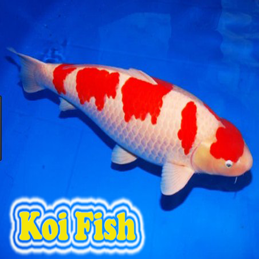 Koi fish android apps on google play for Japanese koi names