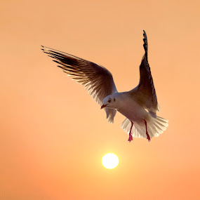 Hovering Over the Sun by Adrian Campfield - Animals Birds ( clouds, orange, white, wildlife, yellow, birds, shadows, black headed gulls, flight, red, sky, dawn, nature, amber, wings, dark, silhouettes, gold, sunrise, light, black, gulls,  )