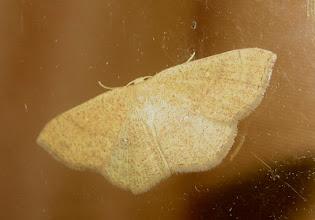 Photo: Cyclophora puppillaria   Lepidoptera > Geometridae