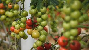 El tomate es la hortaliza más exportada en los primeros meses de 2018, pero su valor baja en comparación al año 2017.