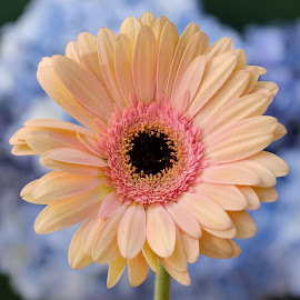 Pink yellow Gerbera by Jim Downey - Flowers Single Flower ( pink, blue, white, yellow, gerbera )