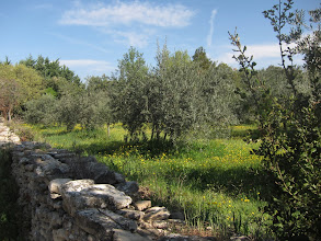 Photo: ... olive groves ...