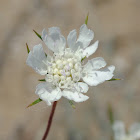 Silver Scabious
