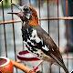 Download Kicau Burung Anis Kembang Juara For PC Windows and Mac